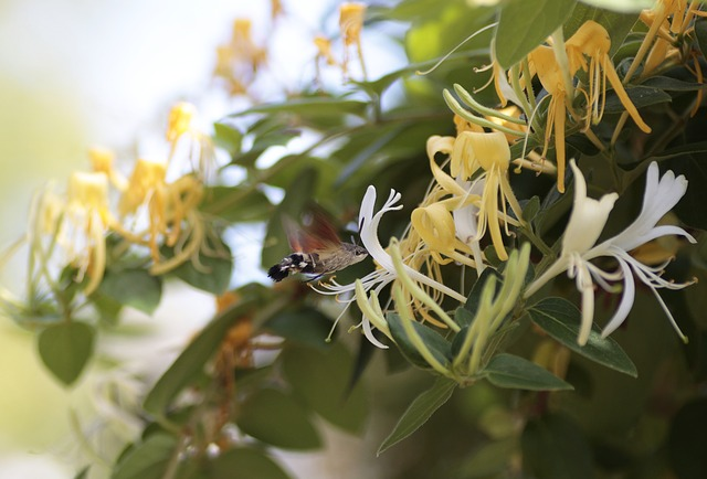A pollinator visiting a honeysuckle flower