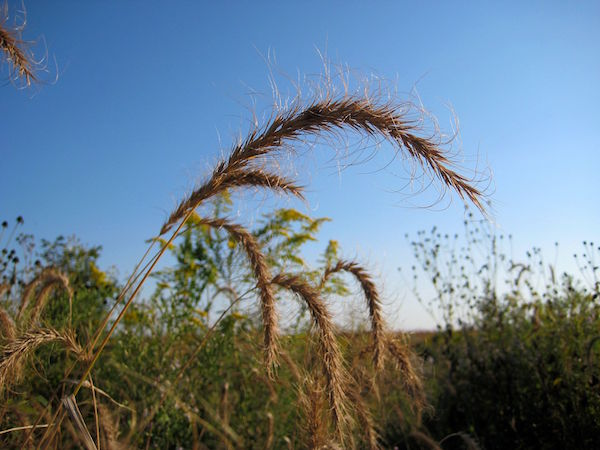 Canadian Wild Rye (Elymus canadensis)