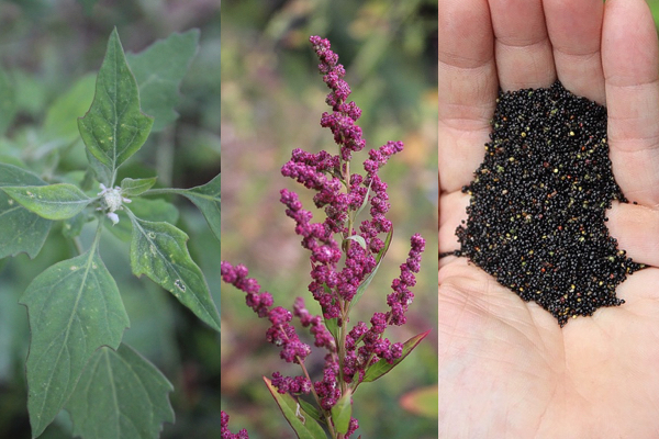 Wild quinoa life stages, from young plants to seed heads to cleaned seed