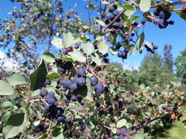serviceberries on a bush