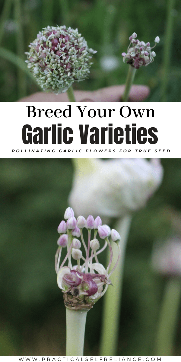 Breeding Your Own Garlic Varieties ~ Finding and pollinating garlic flowers for true garlic seed
