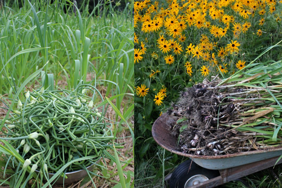 Garlic scape (left) and garlic harvest (right) from just one of our garlic beds.
