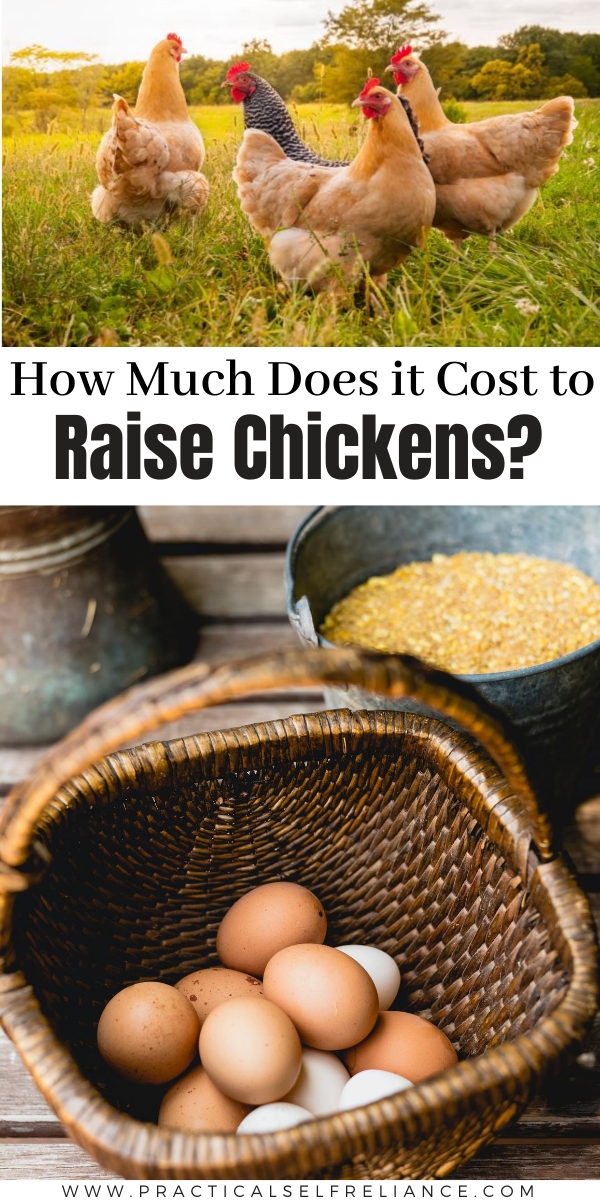 How Much Does it Cost to Raise Chickens?  This simple cost breakdown for raising backyard chickens will help you decide if raising chickens is worth it for your family.
