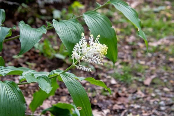 Solomon's Plume Flower