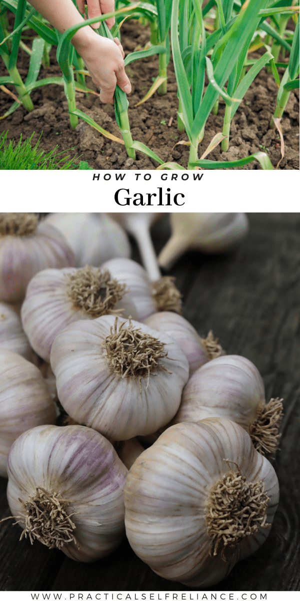 How to Grow Garlic ~ Growing garlic is simple, and all you need is a few garlic bulbs for seed. Learn how to grow garlic by planting in the fall.