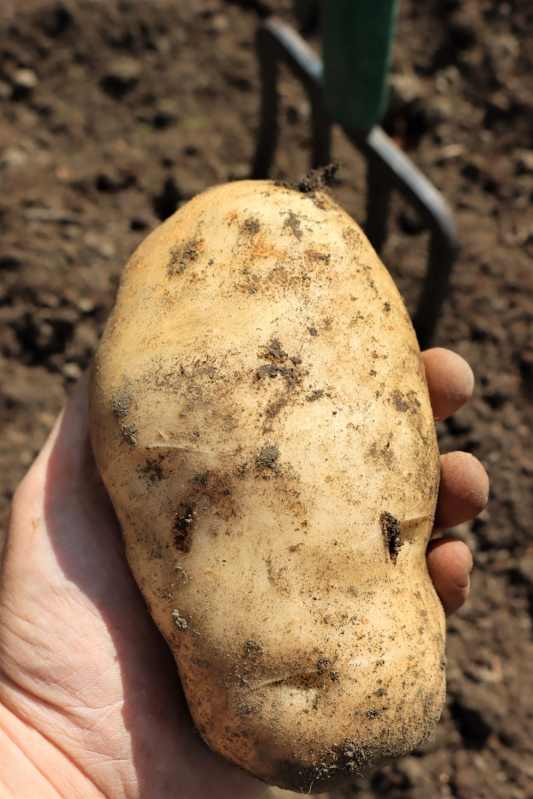 Extra Large Potato grown in raised bed