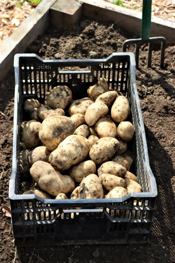 Raised Bed Potato Harvest