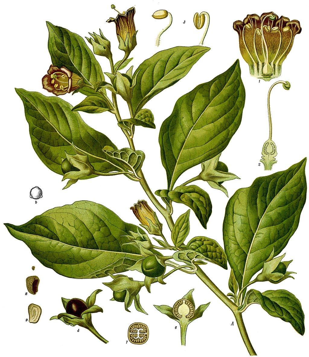 Atropa bella-donna