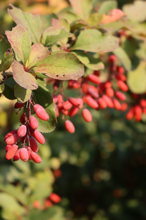Barberry Fruit Clusters