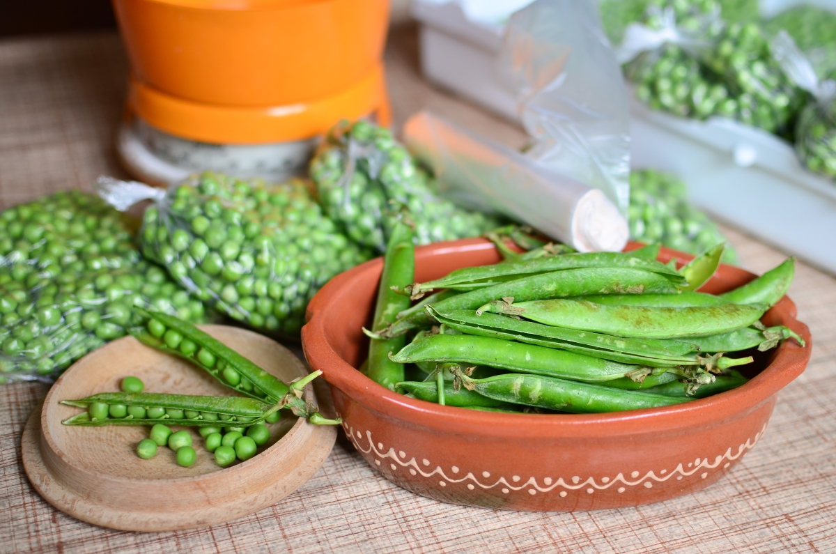 Shelling peas before blanching and packing into freezer bags for storage.