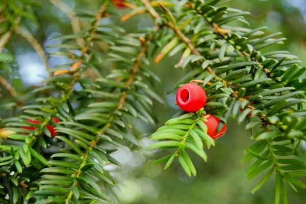 Toxic Yew Berries