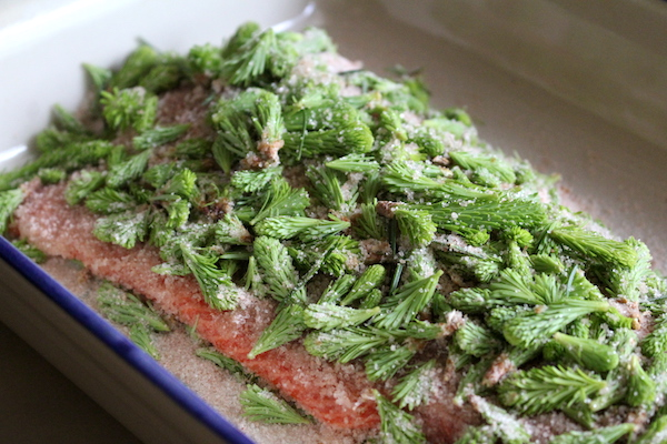 Salmon Curing in Spruce Tips for Gravlax