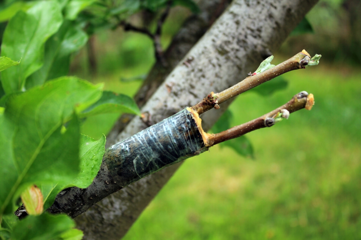 Grafting Apple Trees