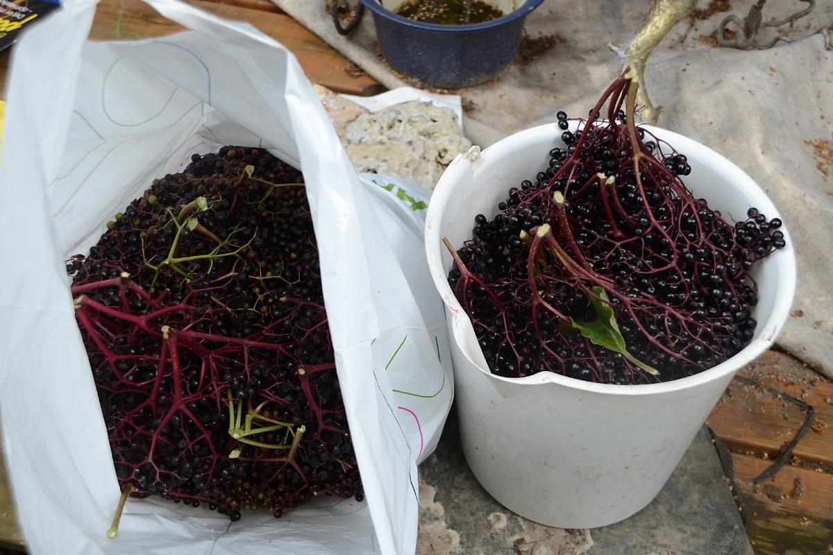 Harvesting Elderberries Yield