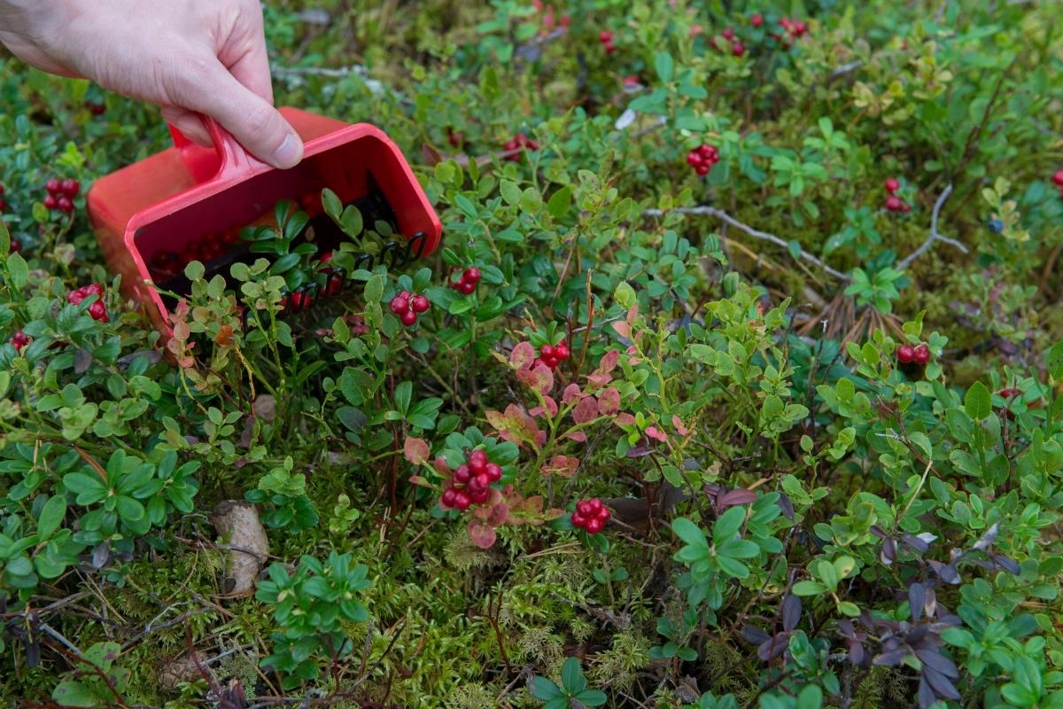 Harvesting Lingonberries