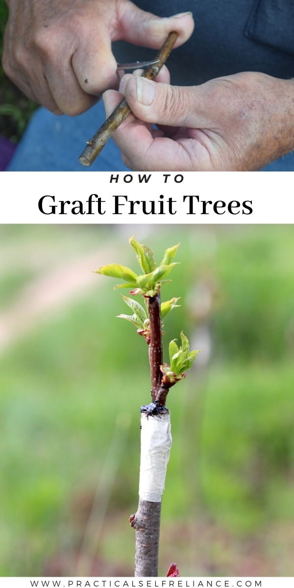 How to Graft Fruit Trees - Beginners' Guide