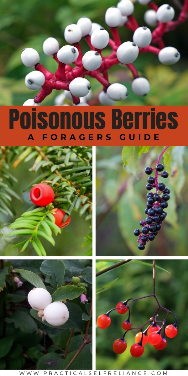 Poisonous Berries A Foragers Guide