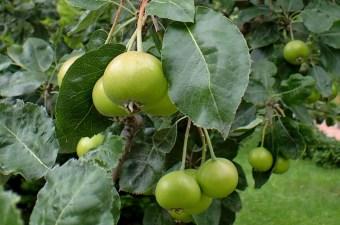 Shipova Fruit Photograph by Krzysztof Ziarnek, a Polish Botanist