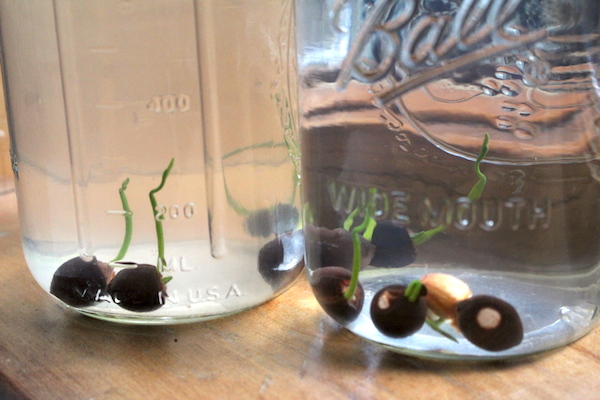 Sprouting American Lotus