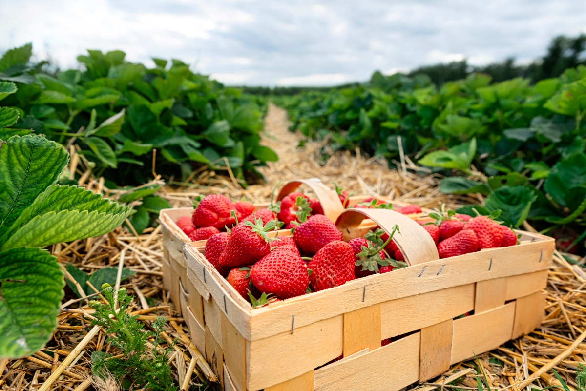 How to Store Fresh Strawberries
