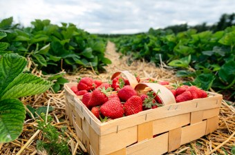 Need a Few Ways to Preserve the Strawberry Harvest