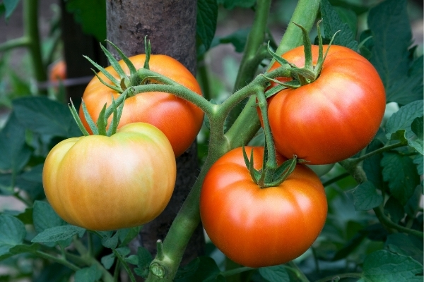 Tomato Plant Fruiting