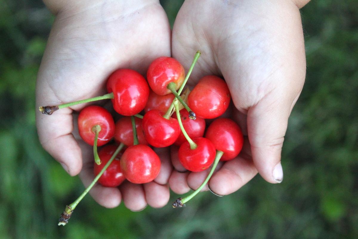 Pie Cherry Harvest