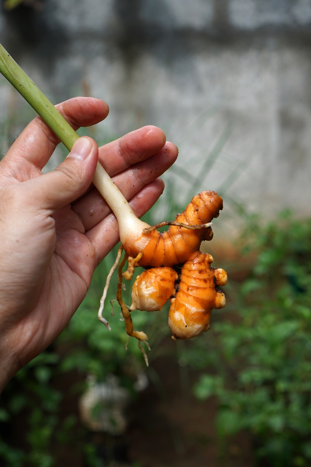 Young Turmeric Harvest