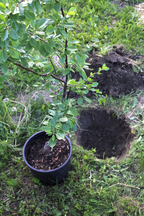 planting a fruit tree