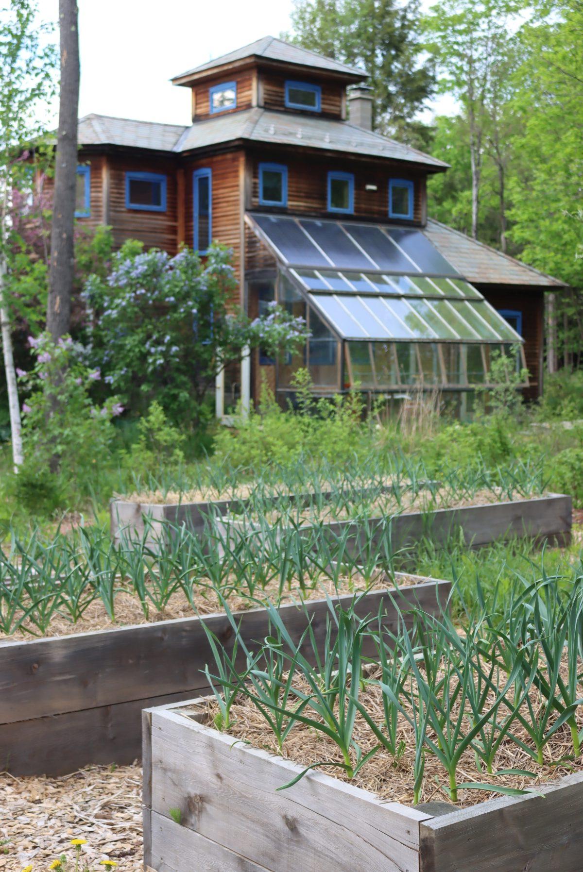 Spring Garlic in Raised Beds