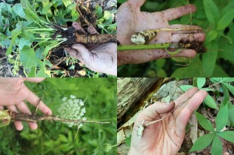 Foraging Wild Edible Roots and Tubers