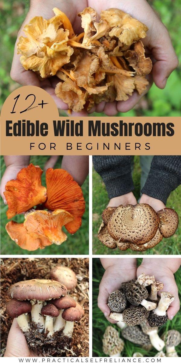 12 Edible Wild Mushrooms for Beginners