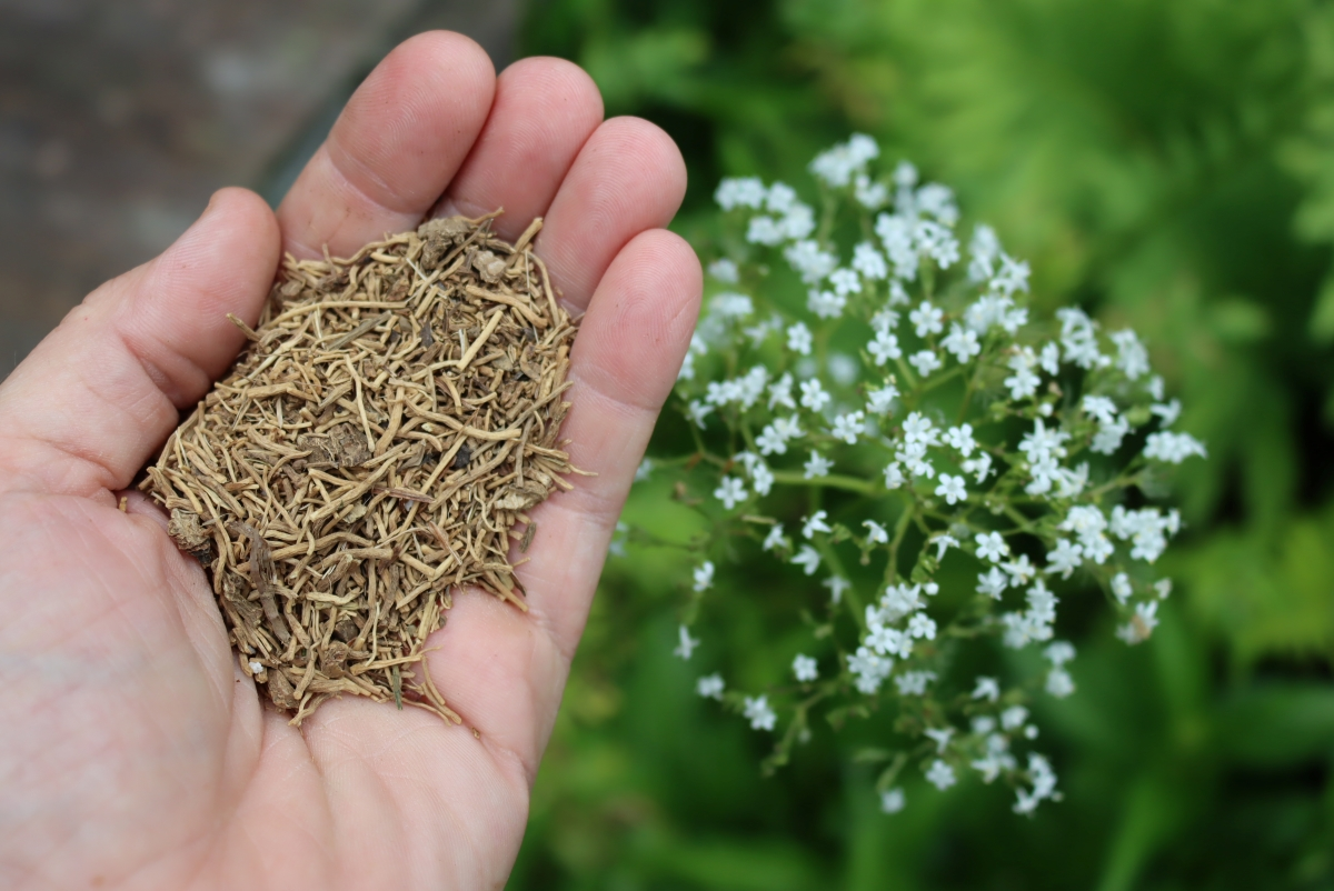 Purchased dried Valerian root that I'm using to make tincture