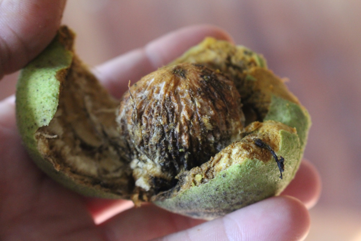 Husking Black Walnuts