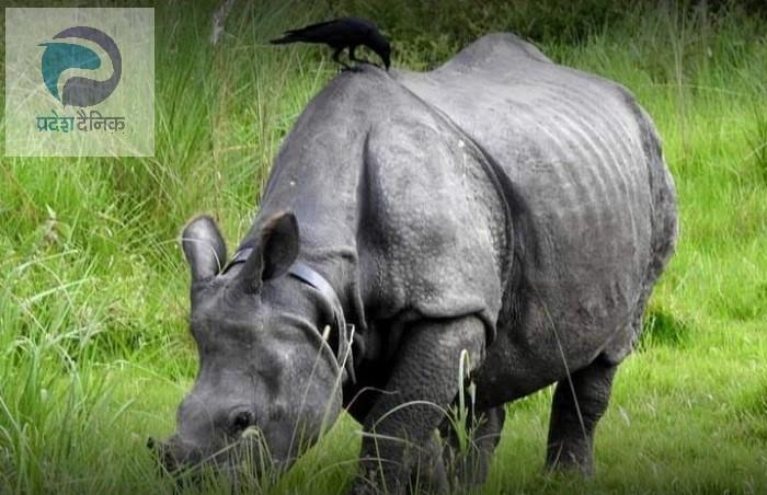 नेपालमा गैंडाको सङ्ख्यामा वृद्धि: गैंडाको सङ्ख्या ७ सय ५२ पुग्यो