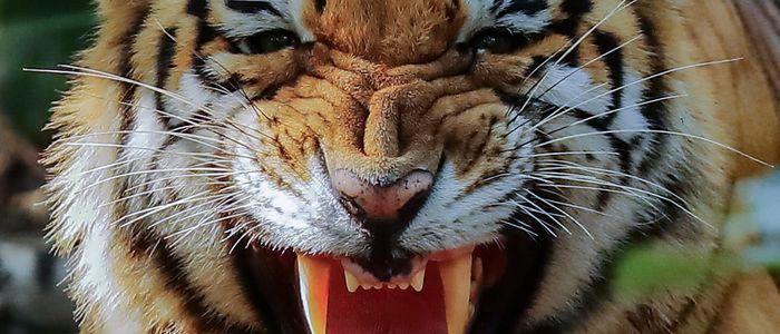 नरभक्षी बाघलाई निकुञ्जले नियन्त्रणमा लियो