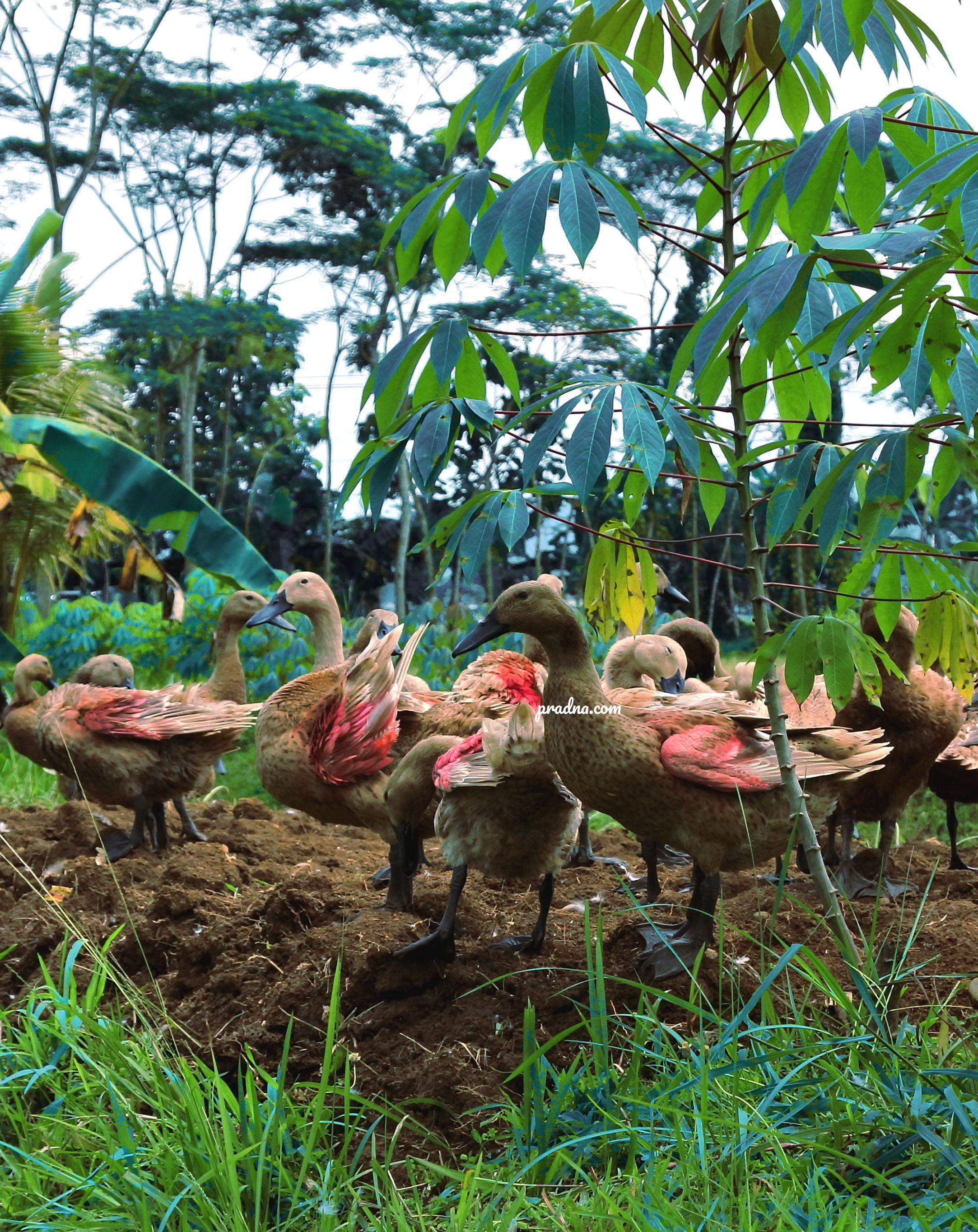 fotografi kawanan bebek desa kejawar banyumas