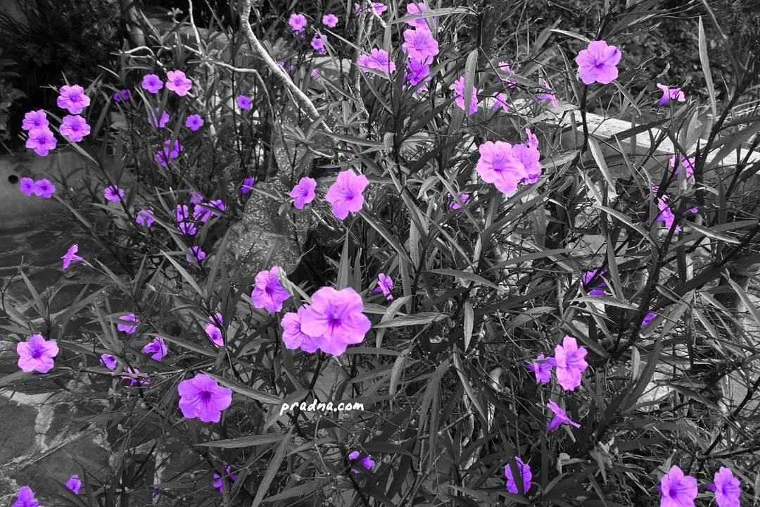 foto bunga ungu