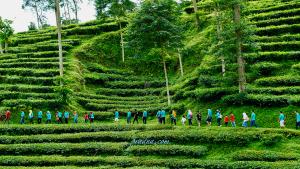 kebun teh pagilaran kabupaten batang jawa tengah
