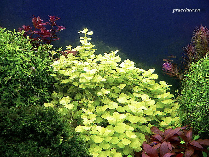 Лисимахия (Lysimachia nummularia «Aurea»), в центре, фрагмент аквариума