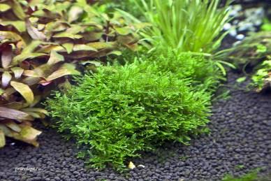 Taxiphyllum alternans — Taiwan-moss на лаве, крепление нитью для мха.