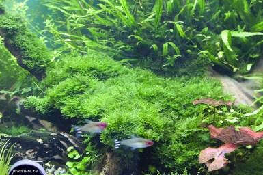Vesicularia montagnei - Christmas moss на коряге, без крепления