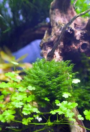 Fissidens fontanus — Phoenix moss, без крепления. Посадка мха в углубление коряги