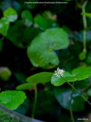 Цветок Щитолистника белоголового (Hydrocotyle leucocephala)