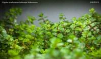 Ротала макрандра зелёная узколистная (Rotala macrandra «Narrow Leaf»). Эмерсная форма совсем непохожа на субмерсную.