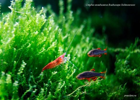 Креветка-вишня в аквариуме (Neocaridina heteropoda)