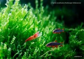 Креветка-вишня (Neocaridina heteropoda Red)