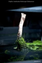 Элеохарис во мхе на коряге в оформлении аквариума