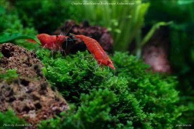 Neocaridina heteropoda Red., Var. Red fire, креветочник, креветкариум, креветки в аквариуме, оформление аквариума
