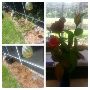 before_and_after_rose_prune[1]